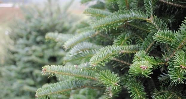 Top tips for buying the perfect Christmas tree